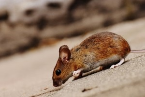 Mice Exterminator, Pest Control in Foots Cray, DA14. Call Now 020 8166 9746