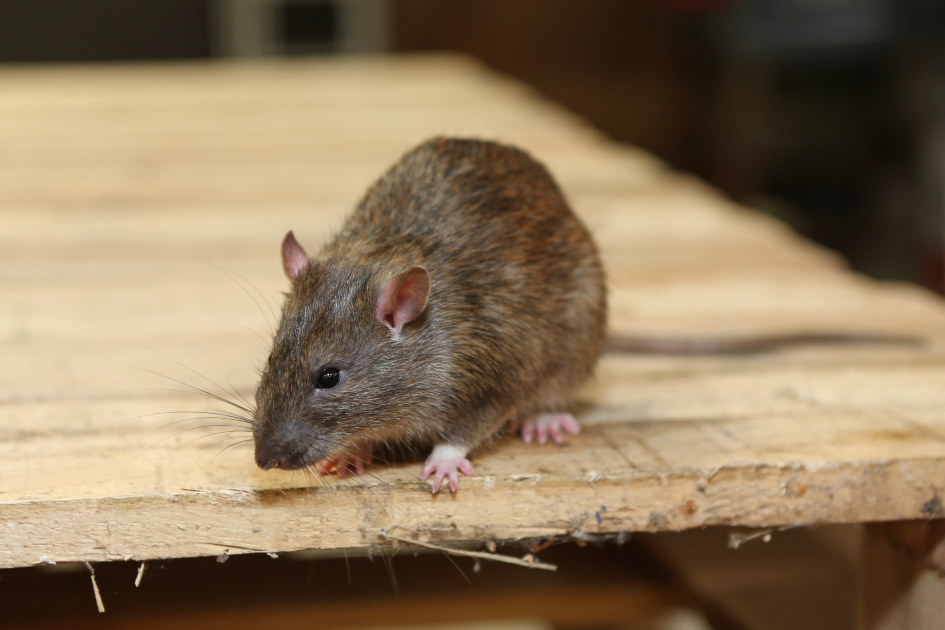 Rat Control, Pest Control in Foots Cray, DA14. Call Now 020 8166 9746