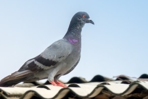 Pigeon Pest, Pest Control in Foots Cray, DA14. Call Now 020 8166 9746